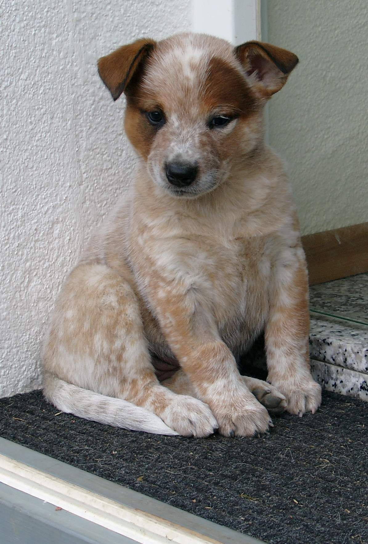 Australian Cattle Dog Heeler Puppies Cattle Dog Austrailian