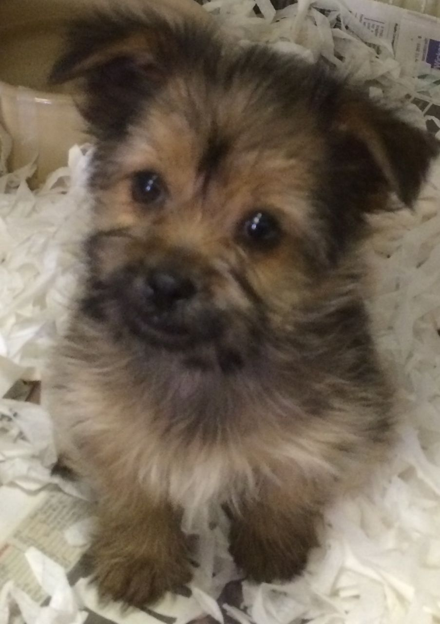 Yorkie Pom Puppies For Sale In London London West London Pets4homes Yorkie Mutt Dog Puppies For Sale