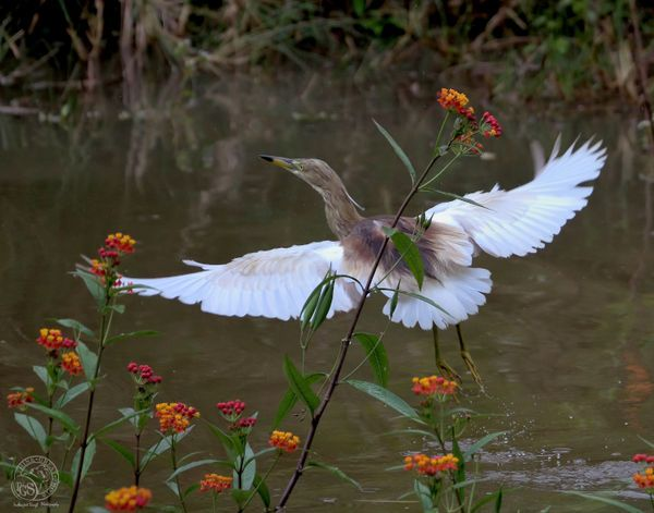 Pond Heron - I wanted the flowers, my wait was rew...