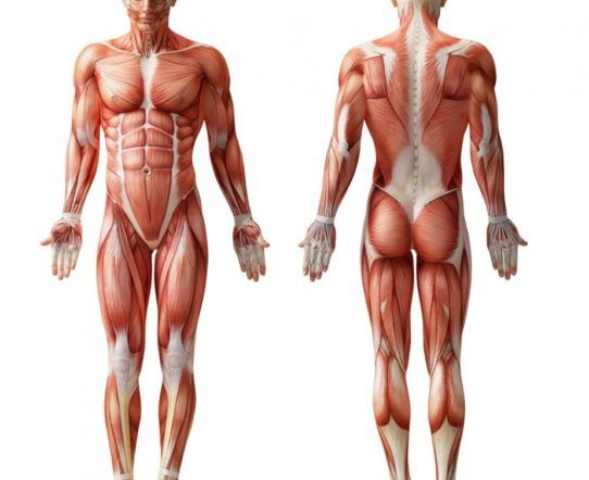 Image result for torso muscles | Anatomy | Pinterest | Anatomy
