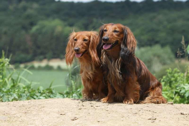 Langharige Teckel Dwergteckel Teckels Honden