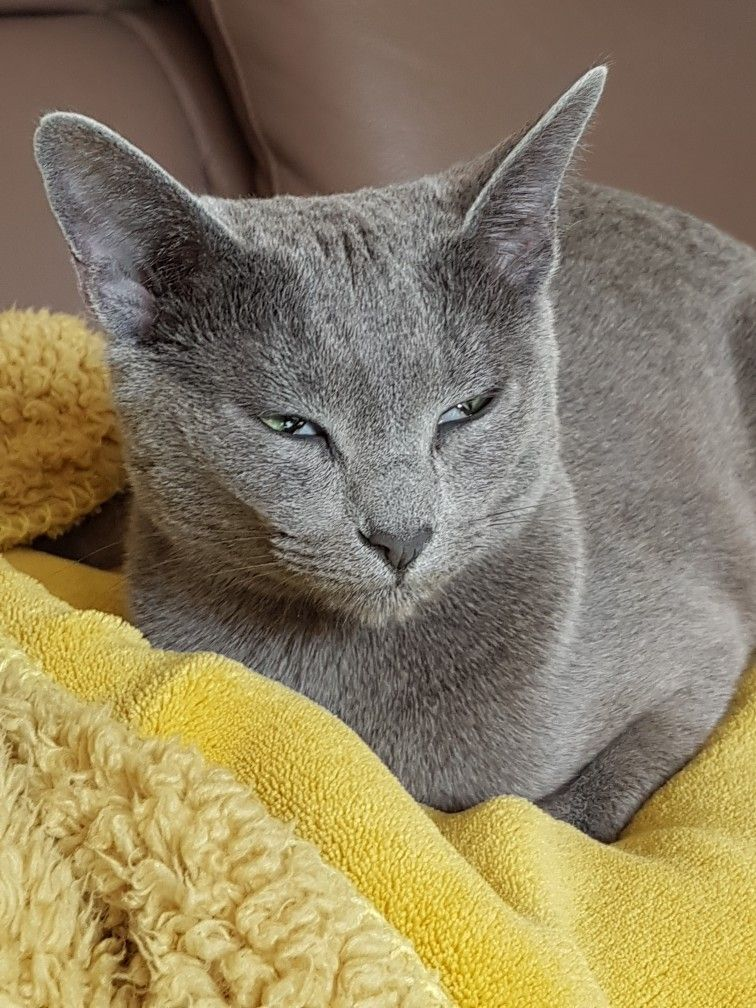 Pin By Anna Marie On Russian Blue Kitty Love Stuff Russian Blue Russian Blue Cat Grey Cats