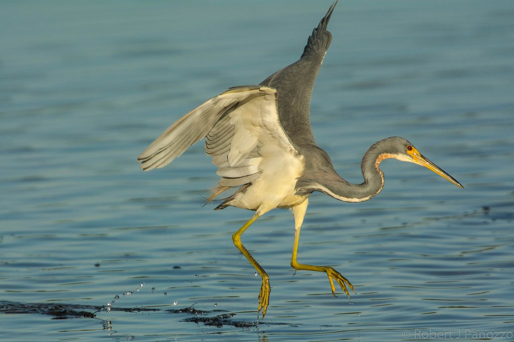 ChicagoBob46 posted a photo:  This Tricolored Heron takes a giant leap while running across the water in pursuit of one of those ever elusive fish.