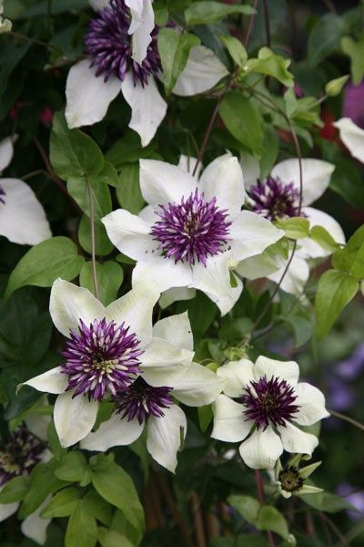 Photo of Clematis florida var. 'florida sieboldiana' – clematis (group 2)