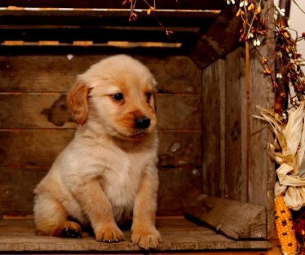 Goldador Dogs And Puppies Dog Breeds Puppies Goldador