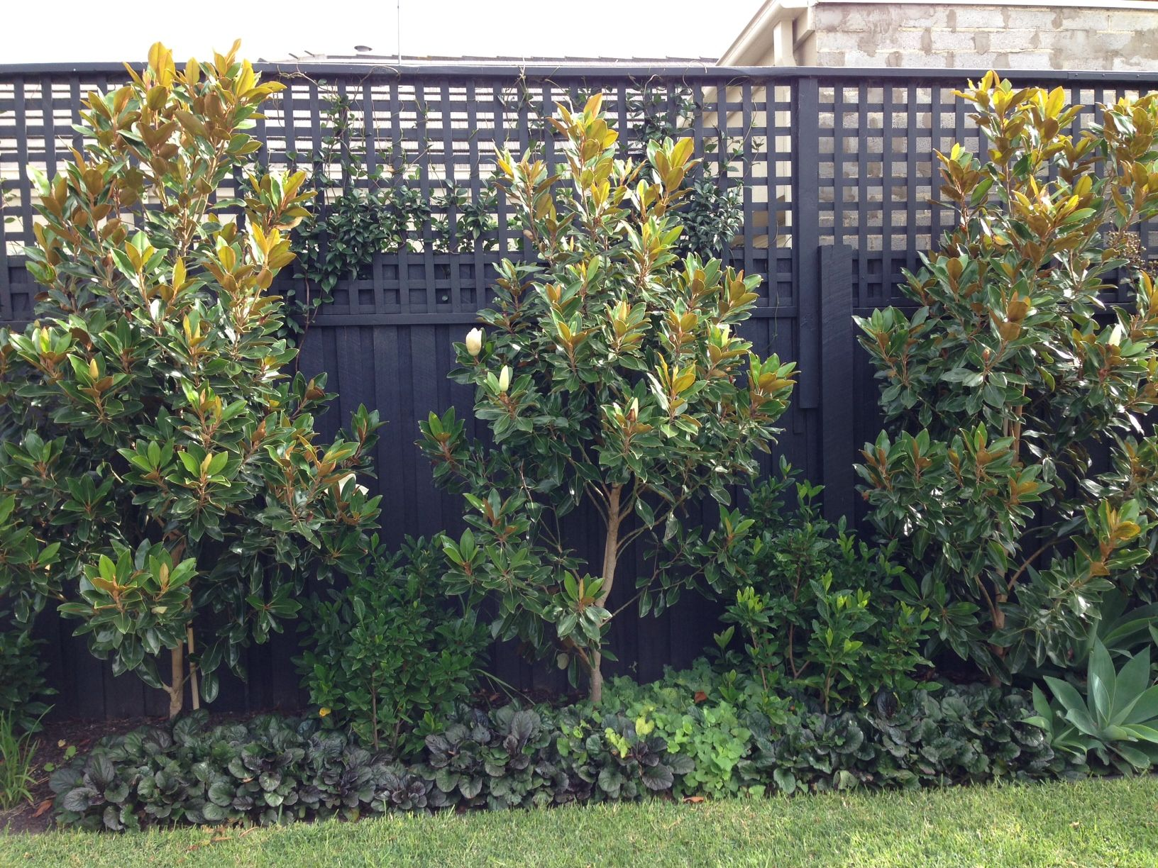 Little gem magnolia trees as feature screen planting for Garden feature screens