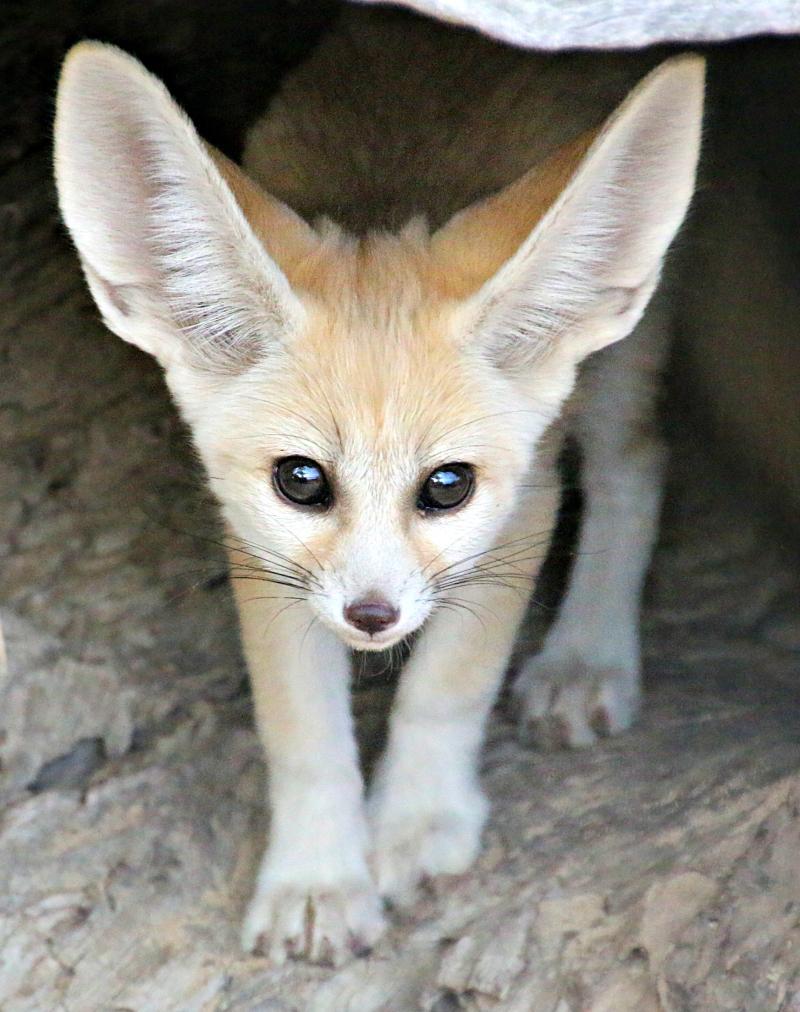 Fennec Fox Kit 4 Photo By Paul Fahy Pet Fox Fennec Fox Pet Fox Species