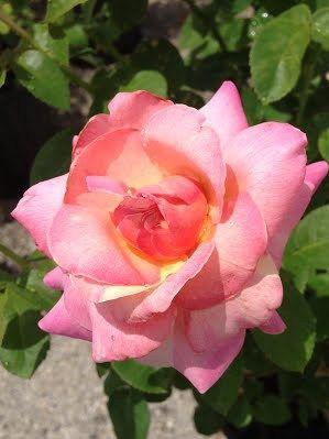 Hybrid Teas Rose Varieties Plumeria Pink Yellow