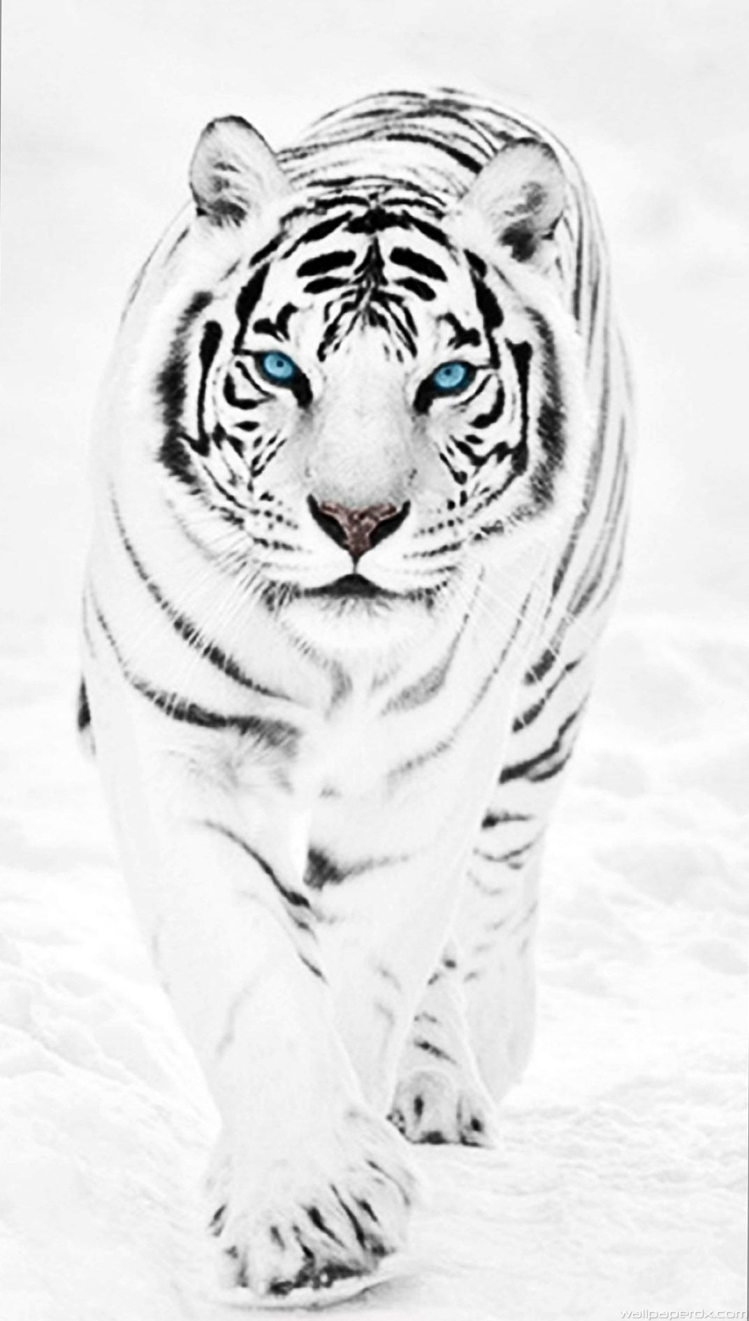 White Tiger Wallpaper Hd 1086183 With Images Majestic Animals