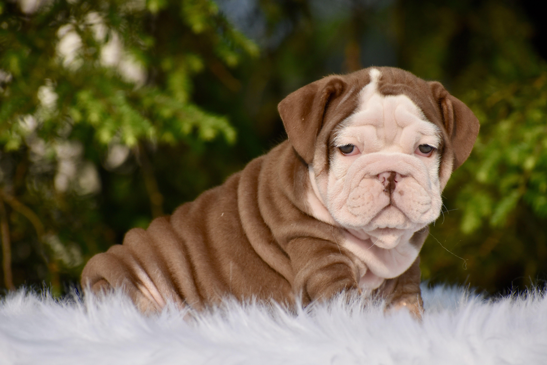 Chocolate English Bulldog Puppy Cuteness Bulldog Puppies