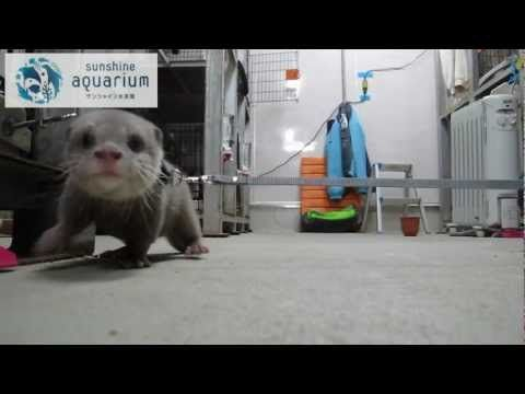 """Small-clawed otter """"Haku""""chan Sunshine Aquarium is the world debut. The state of the lovely walk and it is published"""