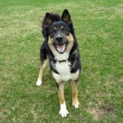 Adopt Melba On Animals German Shepherd Dogs Animals Information