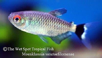 10 1 25 Red Eye Tetra Moenkhausia Sanctaefilomenae Live Freshwater Tropical Live Freshwater Fish Fish Freshwater Fish