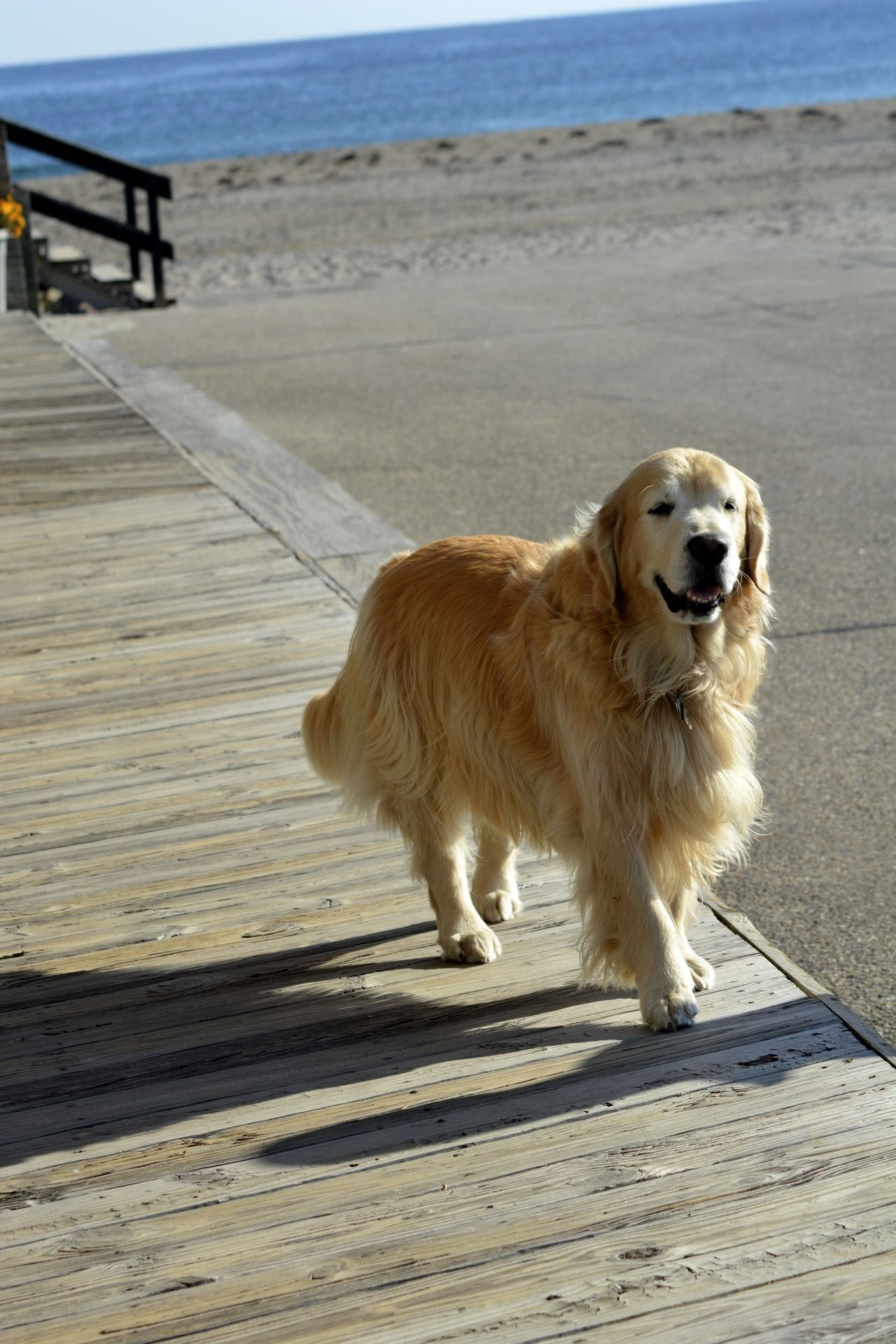 Local Shopkeeper S Friendly Golden Retriever In York Beach Maine