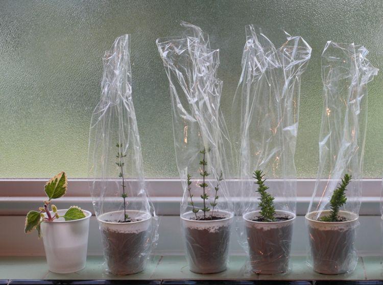 Wurzelhormon für Stecklinge selber machen und die Wurzelbildung natürlich fördern #hortensienvermehren