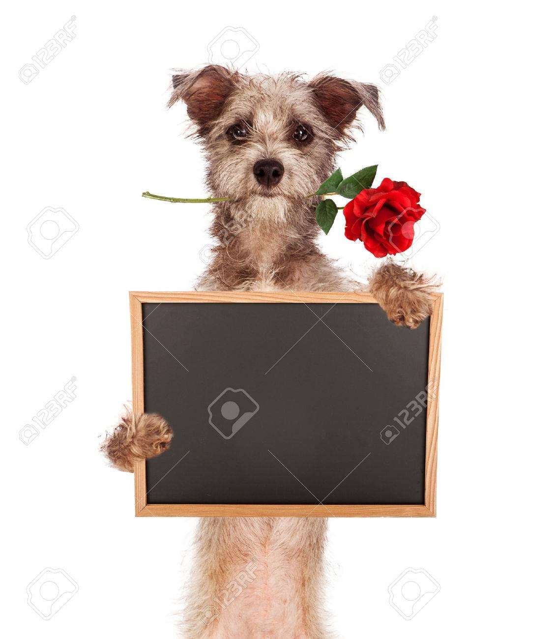 A Cute Scruffy Terrier Mixed Breed Dog Standing Up Carrying A Red Rose In His Mouth And Holding A Blank Chalkboard Terrier Mix Breeds Terrier Mix Chalk Fonts