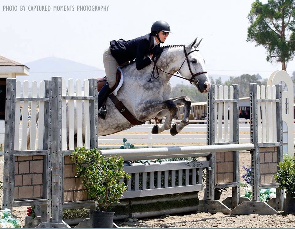 Dapple Grey Horse Warmblood Sport Horse English Hunter