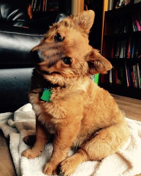 Rudy The Australian Cattle Dog Cairn Terrier Mixed Breed Cute