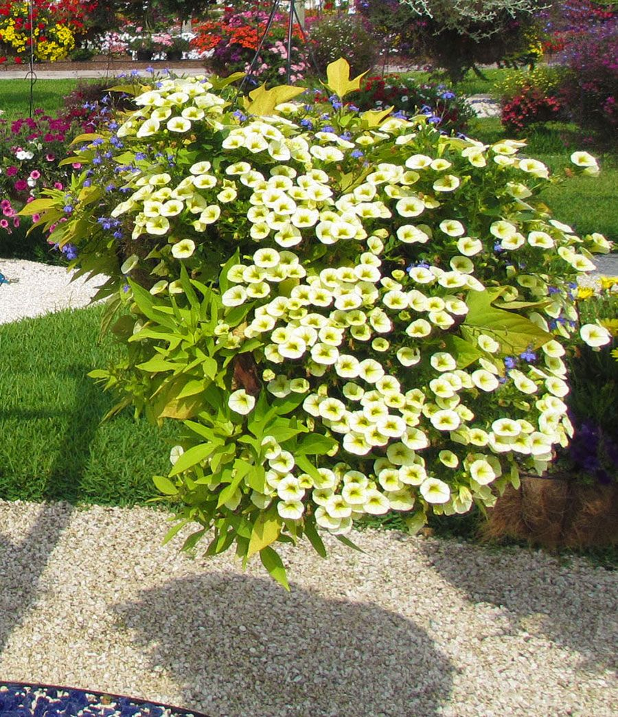 Costa Farms\' Slideshow - Hanging Baskets Ideas   Beatrice Torres ...