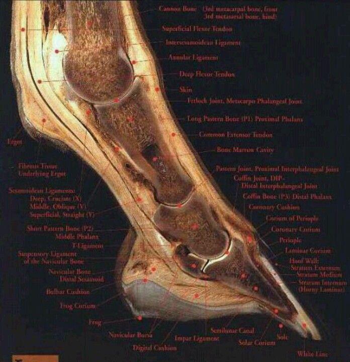 Distal Limb Anatomy Horses Pinterest Horse