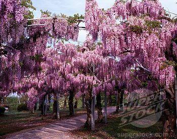 Pink Japanese Wisteria Rosea