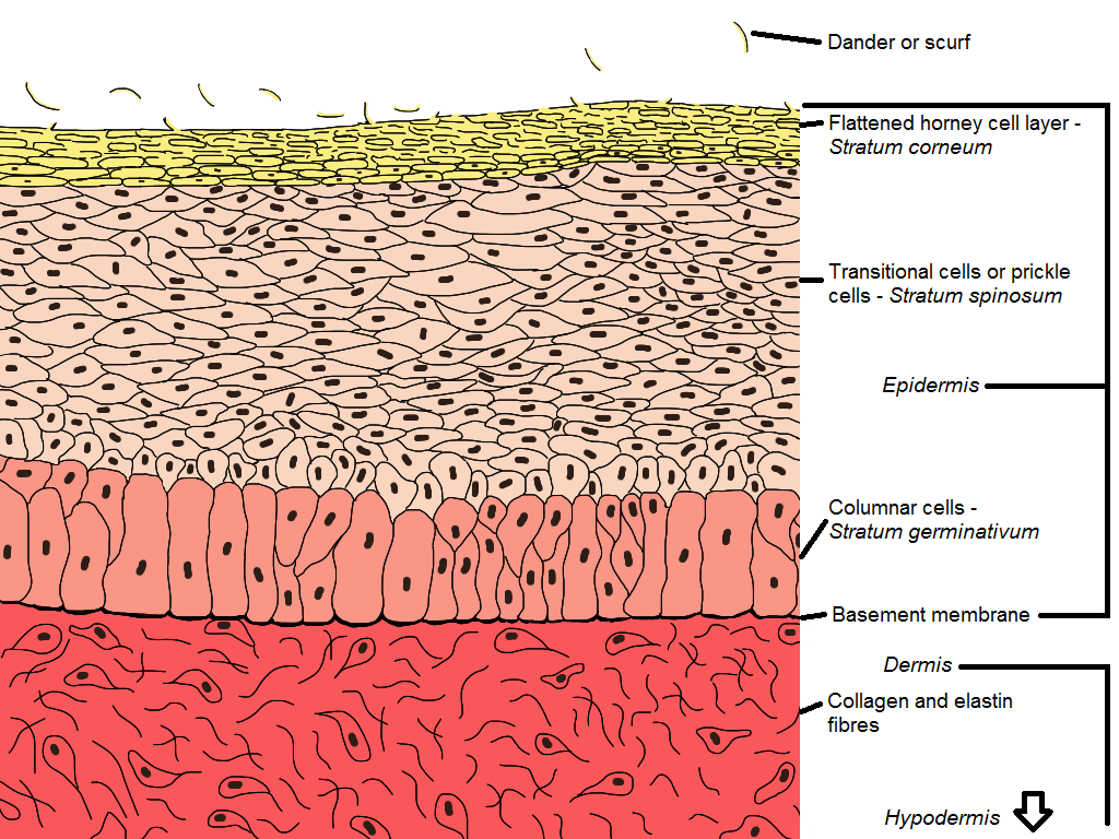 Integumentary Surface Of The Bird
