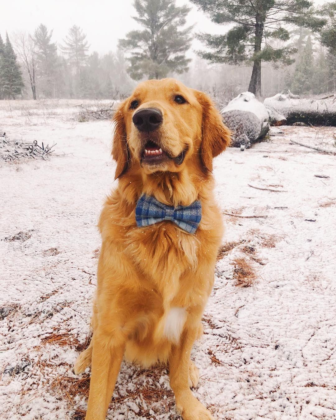 Tucker Goldenretriever Golden Retriever Retriever Dogs