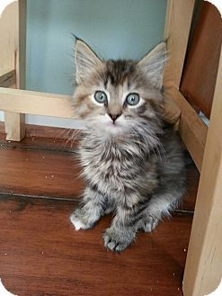Domestic Longhair Kitten for adoption in Union, Kentucky