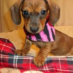 Dog Blessed Kennell Maple Hill Ks Dogs Dachshund Puppies For