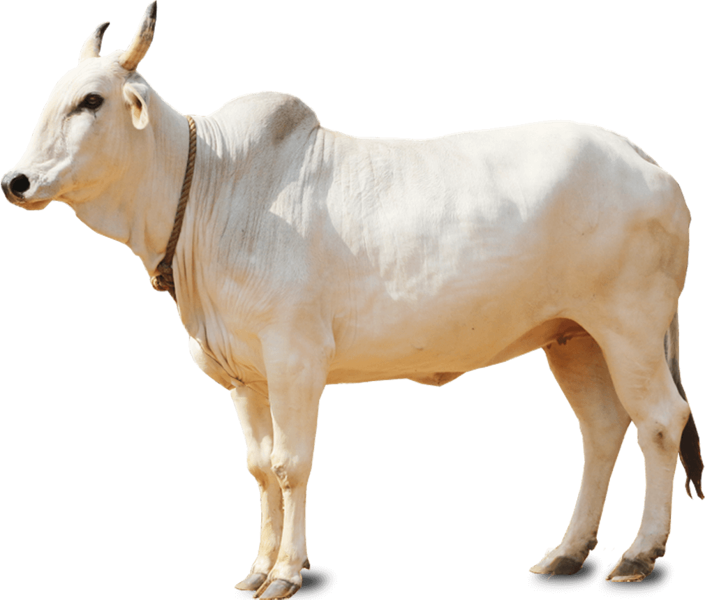 Pin by Michelle Lin on India #1 Cattle Breeds | Breeds, Cattle, Farm animals