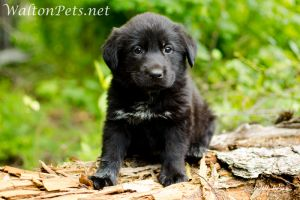 Adopt Dixie On Newfoundland Dog Pets Dog Mixes
