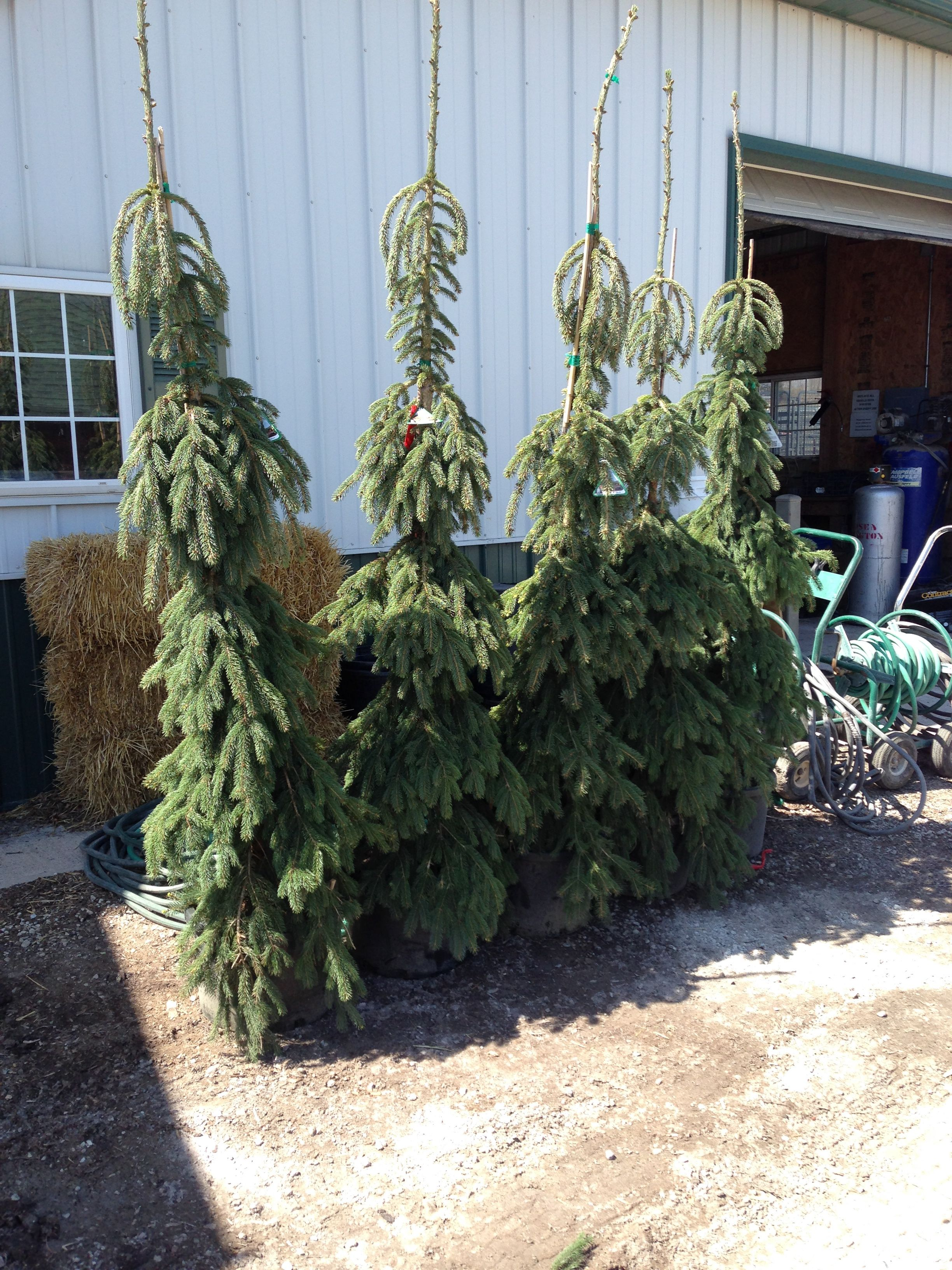 Weeping White Spruce Just In From Iseli Nursery Wow