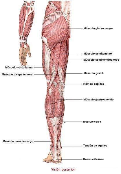 Musculatura Tren inferior, vista posterior #Miología | Anatomía ...