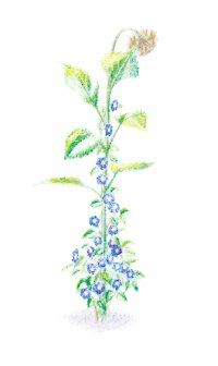 Vegetable Growing Tips-A sunflower stem looks  lovely when surrounded  by morning glories