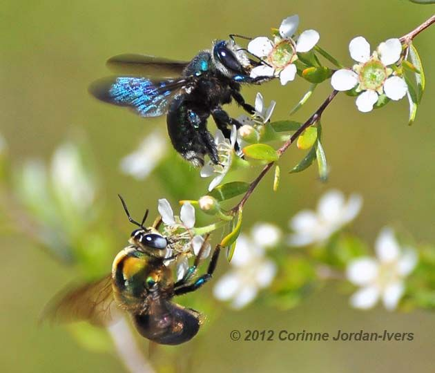 Male And Female Carpenter Bees Xylocopa Lestis Corinne Jordan