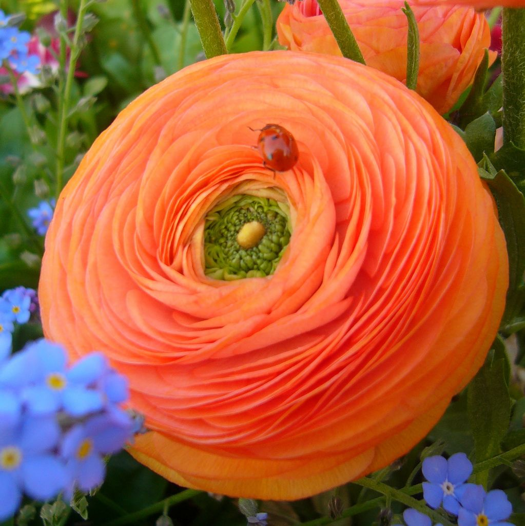 Pin On Ranunculus