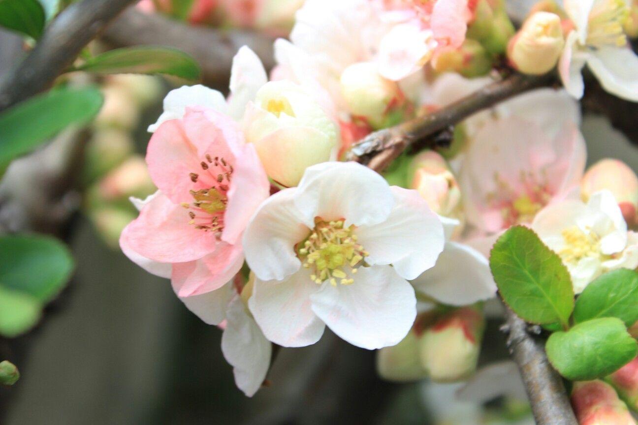 庭のボケの花 東洋錦という品種のようです 2月の誕生花 誕生花 花