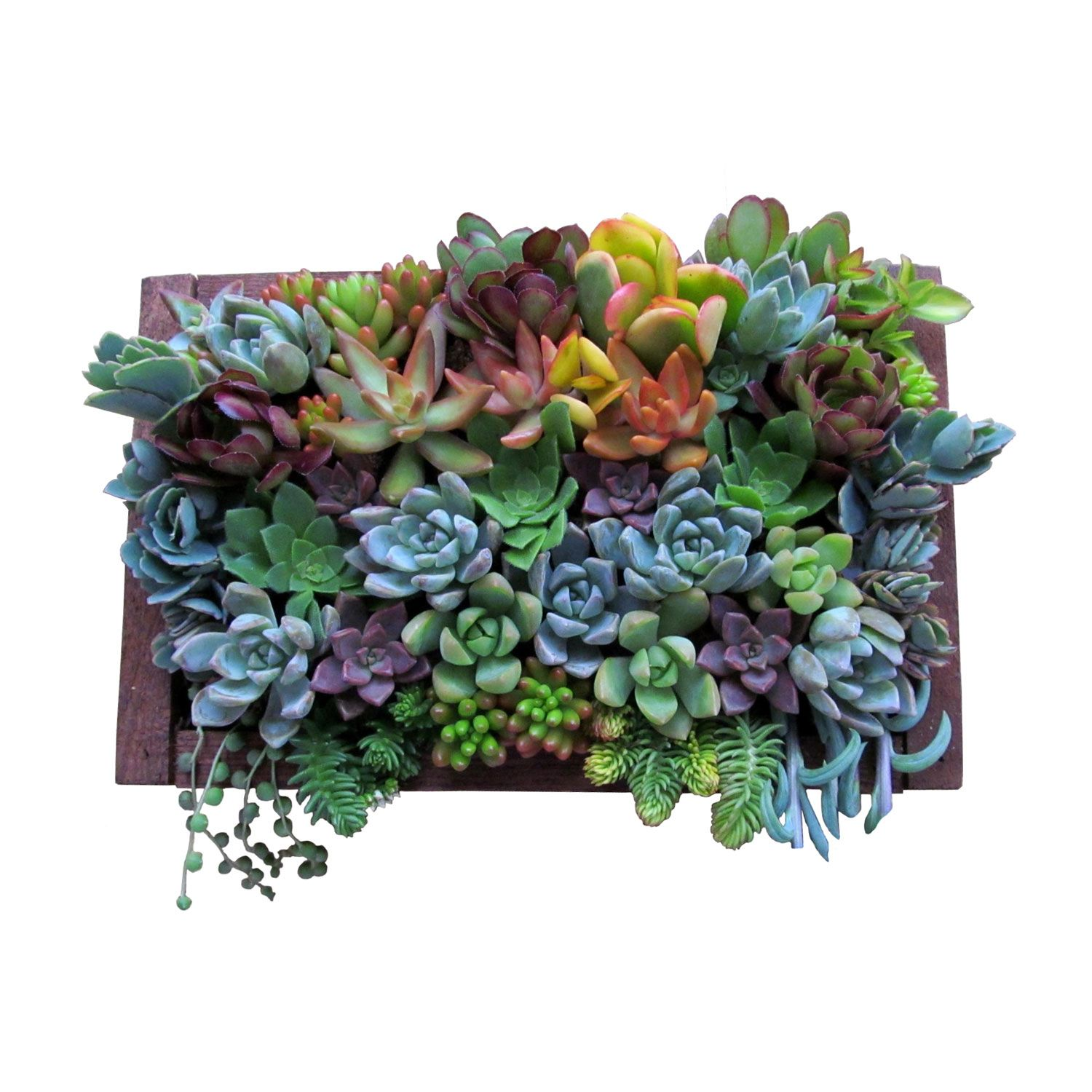 Succulents In A X Frame Makes A Colorful And Dramatic Wall Hanging