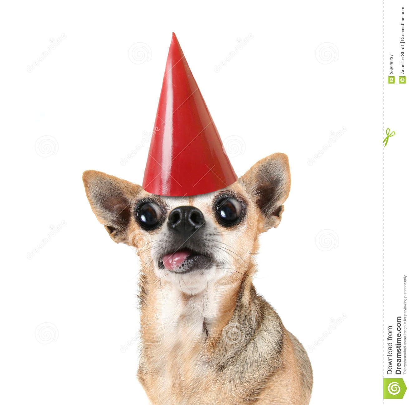 congratulations chihuahua Google Search chi chis – Chihuahua Birthday Cards