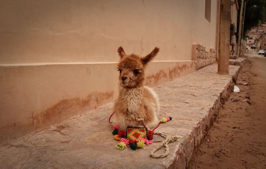 bébé Lama