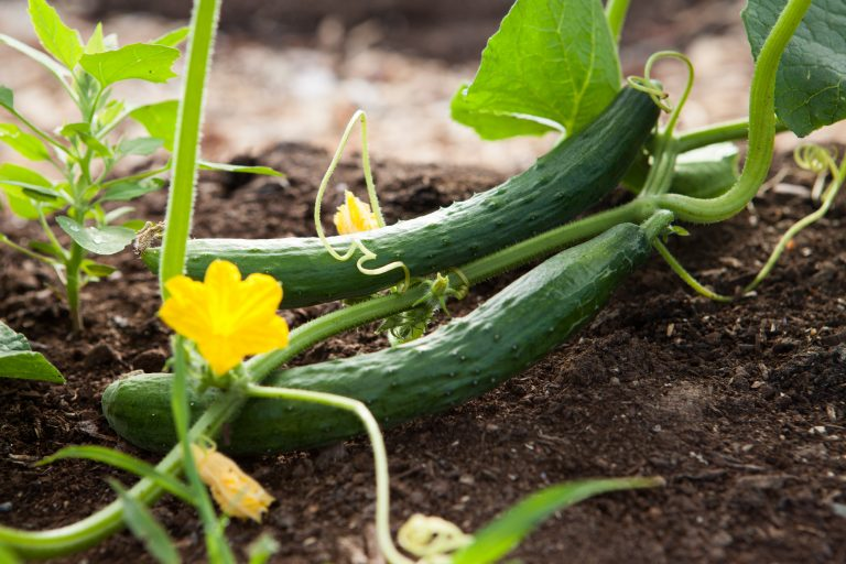 Why are Burpless Cucumbers Called Burpless? Growing
