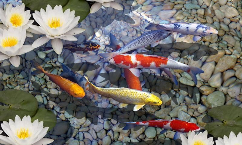 Koi Fish Live Wallpaper   WallpaperSafari