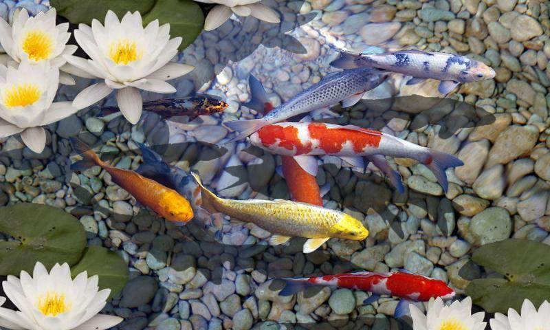 Koi Fish 3d Screensaver Download Aquarium Live Wallpaper Live Wallpapers Live Fish Wallpaper
