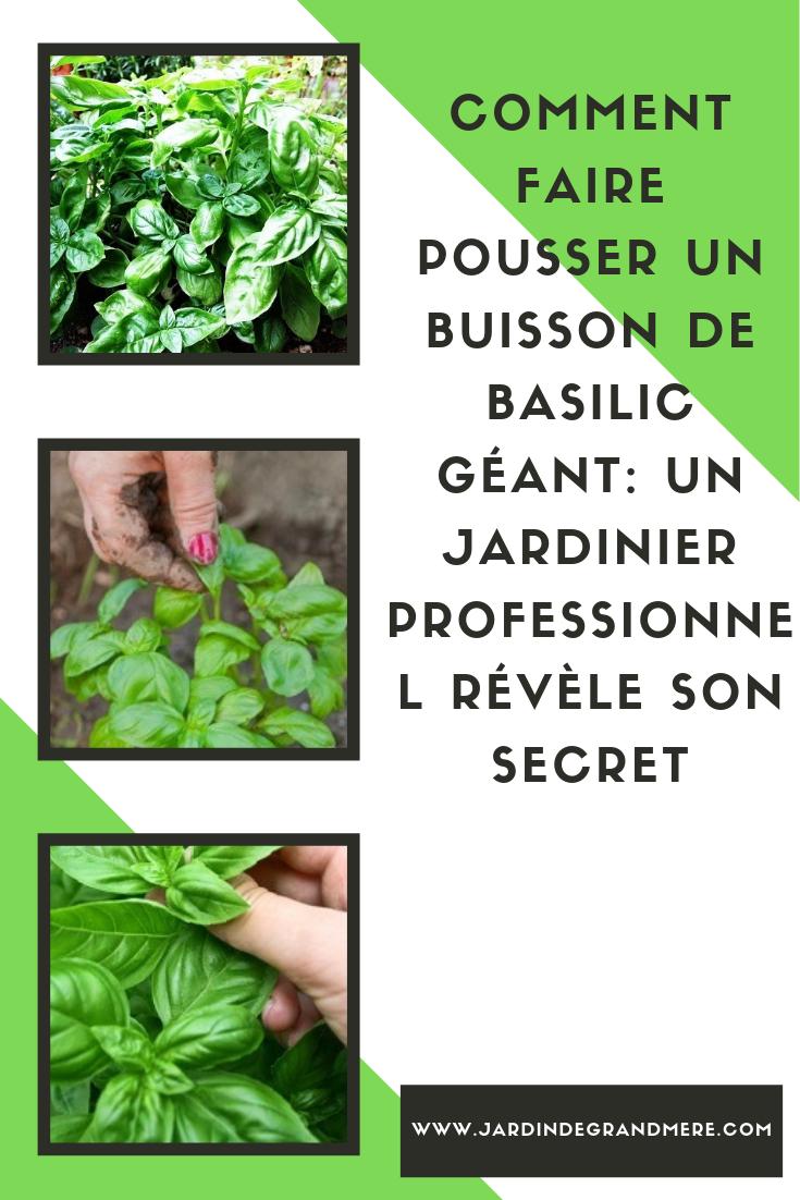 Comment Planter Du Basilic comment faire pousser un buisson de basilic géant: un