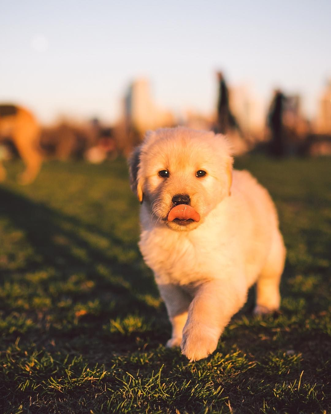 Maisie the 6wk old Golden Retriever pup   raisingmaisie Maisie is      raisingmaisie Maisie is that last puppy for this week s Puppy Dog Monday   Thanks for tuning in   puppy by zilkerbark