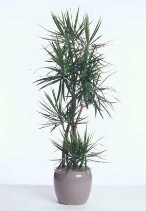 How To Care For Dracaena Marginata Dracaena Plant Plants