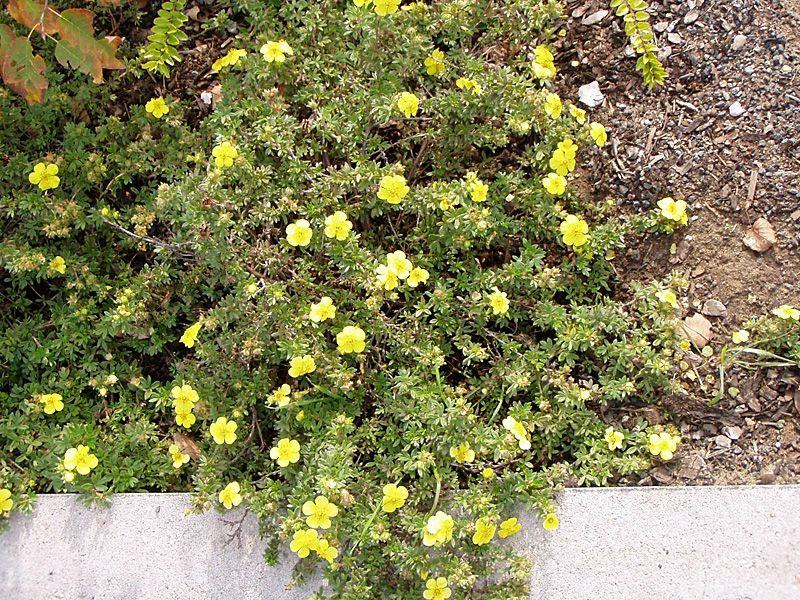 Fingerstrauch 39 goldteppich 39 potentilla fruticosa 39 goldteppich 39 f r niedrige hecken und als - Einheimische pflanzen im garten ...