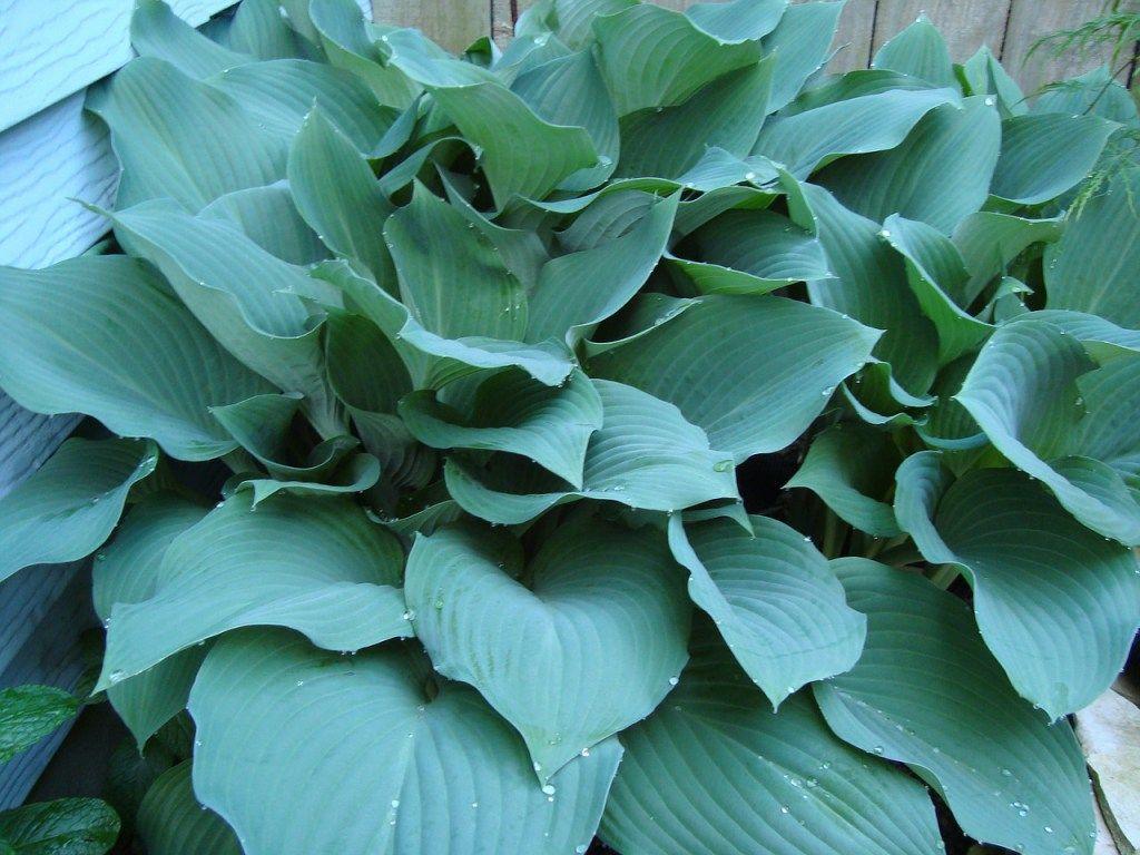 How To Grow Your Own Prize Winning Hosta Hostas Garden Flowers