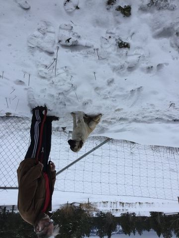 Litter of 3 Anatolian Shepherd puppies for sale in COEUR D