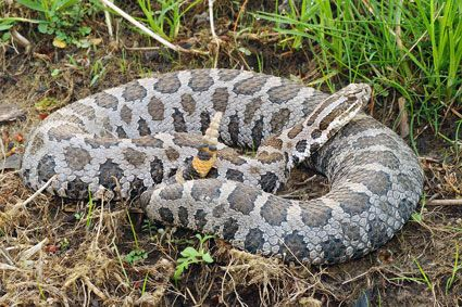 Eastern Massasauga Rattlesnake One Of Three Poisonous Snakes In Pennsylvania It Is Small And Actually An Endanger With Images Rattlesnake Snake Reptiles And Amphibians